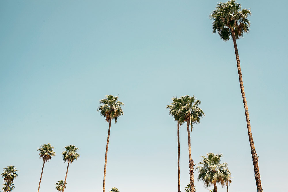 palm trees in palm springs coachella